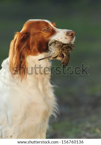hunting dog holding in teeth a sandpiper, outdoors, vertical - stock photo