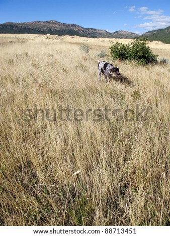 Hunting Dog in the Field - stock photo