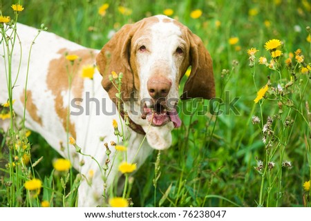 Hunting dog  in the grass - stock photo