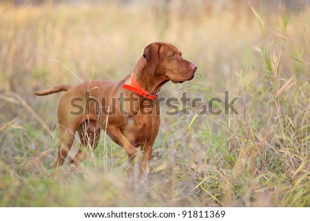 hunting dog pointing in field - stock photo