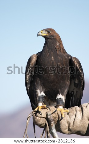 Hunting eagle - stock photo