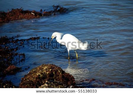 Hunting Egret - stock photo