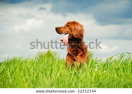 Hunting irish setter sitting in the grass - stock photo