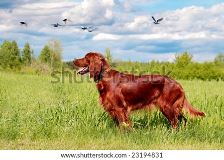 Hunting irish setter standing in the grass - stock photo