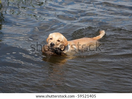 Hunting labrador retriever portrait with duck - stock photo