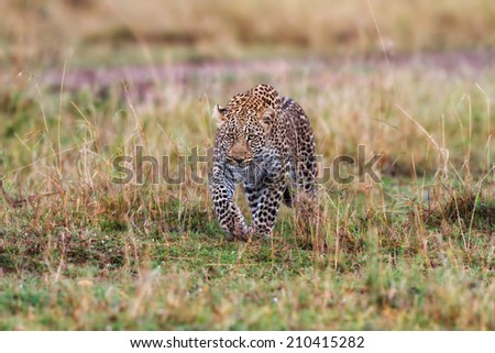 Hunting Leopard male in Masai Mara, Kenya - stock photo