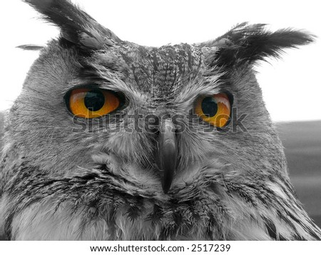 Hunting Owl - stock photo