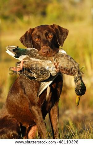 Hunting Retriever - stock photo