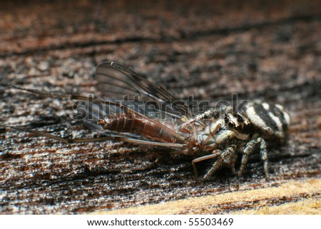Hunting Salticus Scenicus - stock photo