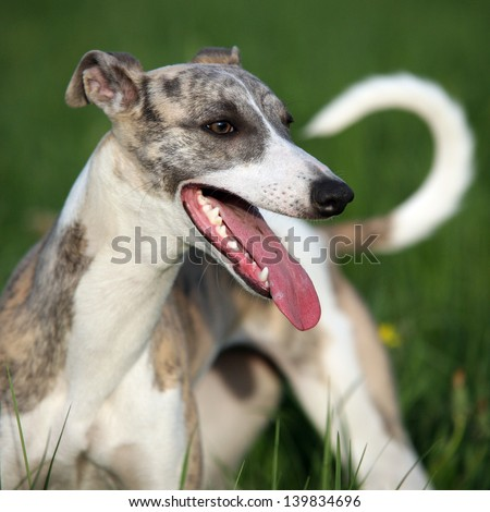 Hunting whippet puppy. - stock photo