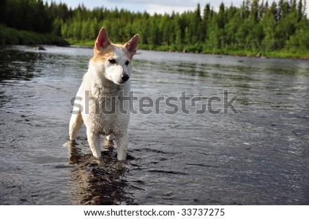 huntingdog, stands in the river