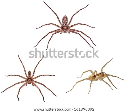 huntsman spiders are isolated on white background - stock photo