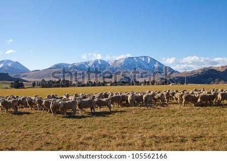 Husbandry sheep farmland in Canterbury region Southern Alps Mountain valleys New Zealand - stock photo
