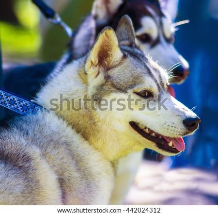 Huskies. Huskies dog breeds.Portrait of a pet dog. A favorite of friend dog. - stock photo