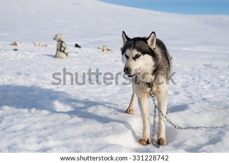 Huskies in snow