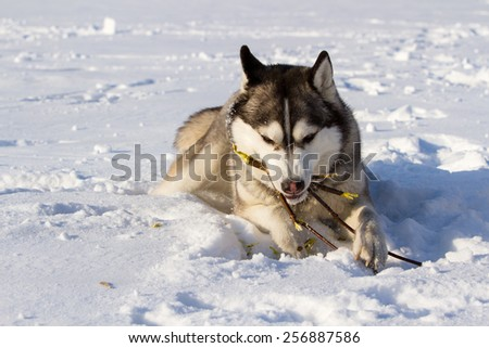 Husky dog breed lies on snow and gnaws branch