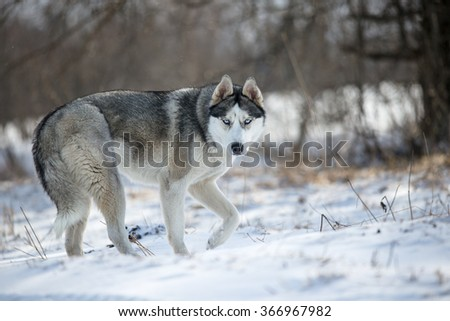 husky dog in winter forest - stock photo