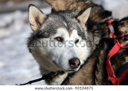 husky dog on alpine mountain in winter - stock photo