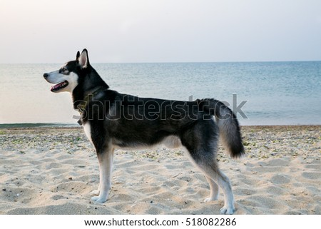 Husky dog on the sea beach