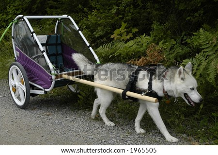 husky dog on training by carrying a baby bike carriage - stock photo