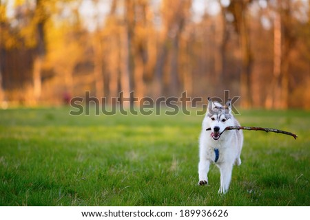 Husky dog runs with a wooden stick in his mouth in sunny summer evening park - stock photo