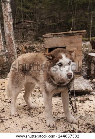 husky dog siberian winter animal - stock photo