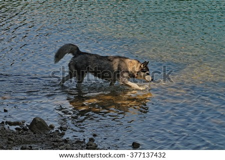 husky dog walking into a lake