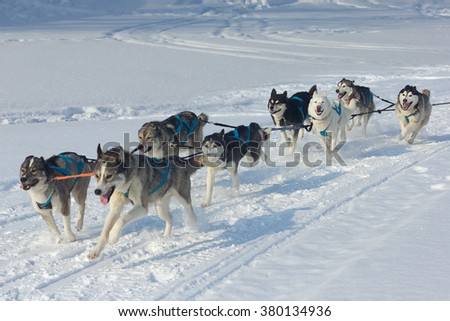 Husky dogs  and alaskan malamute at race in winter. - stock photo