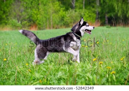 husky in field - stock photo