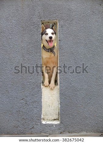 Husky looking through a hole in a wall.