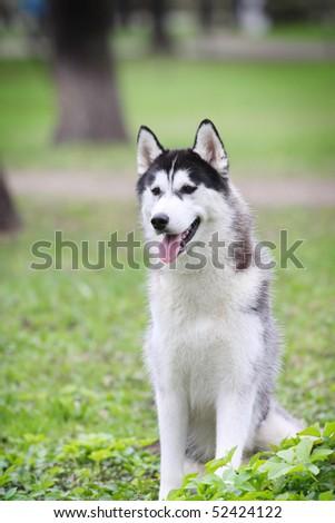 husky outdoors - stock photo