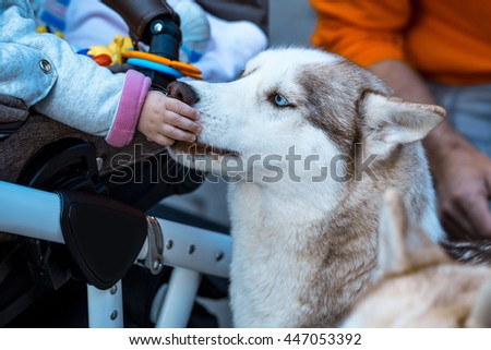 husky pet dog with brown and white fluffy hair and cute face touched by kid hand, closeup - stock photo