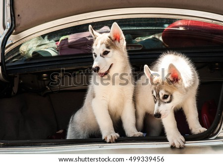 Husky puppies in car