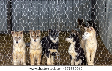 Husky puppies  in the dog kennel - stock photo