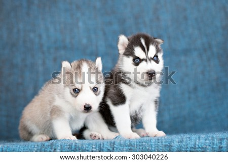 Husky puppies on a blue background