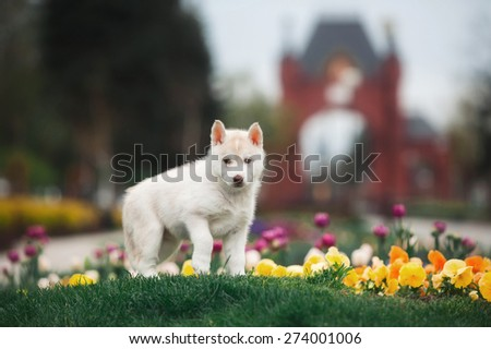 Husky puppy - stock photo