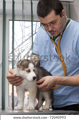 Husky puppy at a small animal clinic having his heart rate taken - stock photo