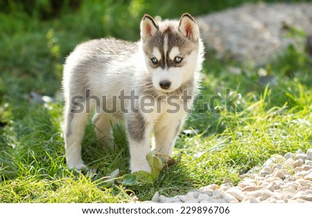 Husky puppy dog  - stock photo