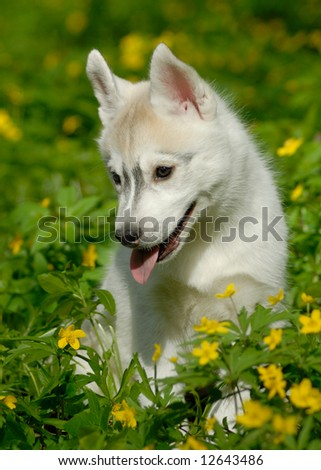 Husky puppy in deep grass - stock photo