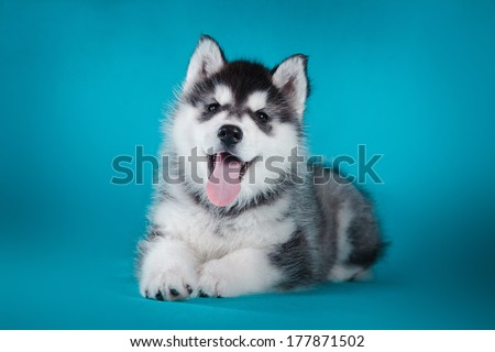 husky puppy in studio dog - stock photo
