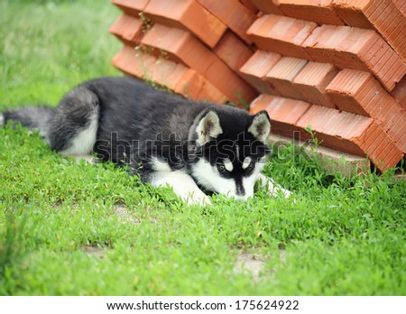 husky puppy lying on the grass near the pile of bricks. small depth of field - stock photo