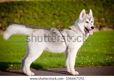 husky puppy on a leash