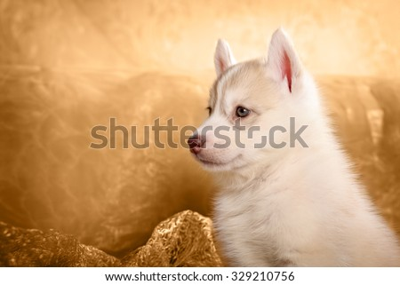 Husky puppy, portrait in gold background - stock photo