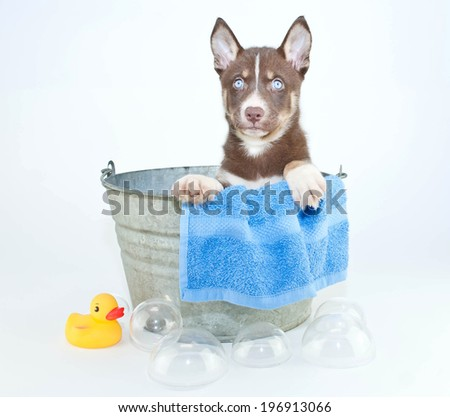 Husky puppy sitting in a tub with bubbles and a rubber ducky ready for his bath. - stock photo