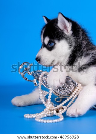 Husky puppy with perl necklace - stock photo