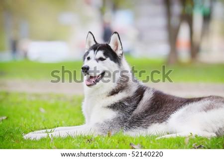 husky resting on a grass - stock photo