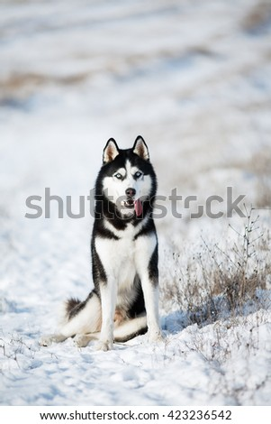 Husky sitting in the snow - stock photo