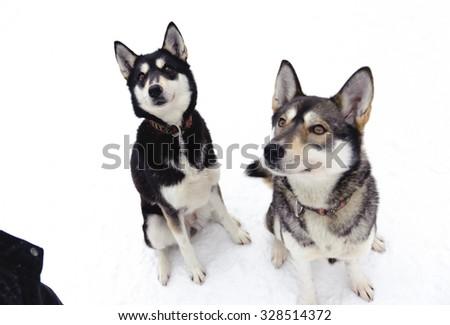 Husky sitting on snow in winter - stock photo