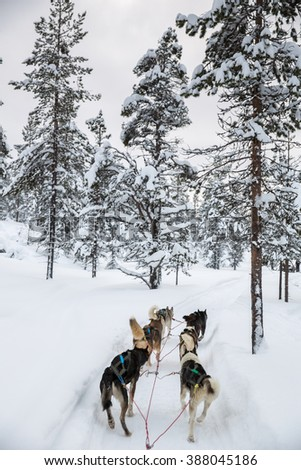 Husky sledge ride in Lapland, Finland.  - stock photo