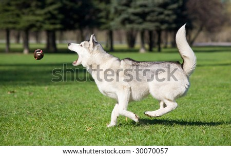 Husky trying to catch a ball - stock photo